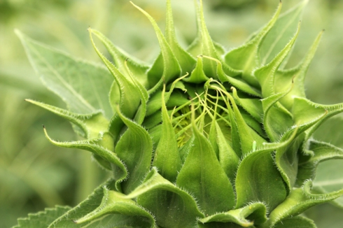 The Glorious Bud of the Unborn Sunflower